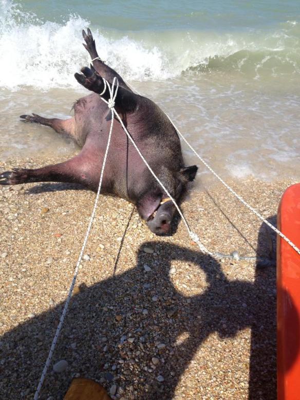 Pescato cinghiale in mare a Pse